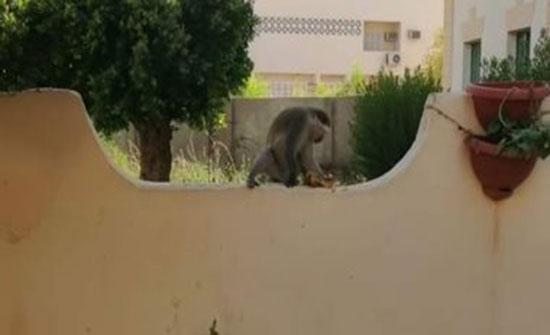 """صور: .قرود هاربة وسط مدينة أسوان.. و""""الطب البيطرى"""" يبحث عن مصدرها"""