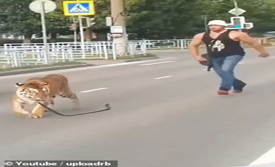 صور : نمر يهرب من صاحبه وسط شوارع روسيا
