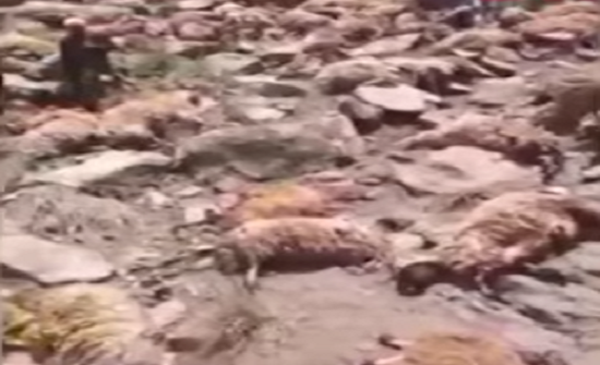 بالفيديو : نفوق 400 خروف في سقوط جماعي في تركيا