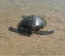 إنقاذ سلحفاة بحرية مهددة بالانقراض في العقبة