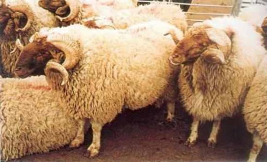 تجار معان ومربو ماشية في البادية الجنوبية يطالبون بإحياء صناعة الصوف