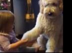 بالفيديو :  طفلة تعلم كلبها المصافحة