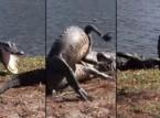 شاهد.. معركة شرسة بين تمساحين