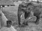 شاهد ..  فيل ينظف المكان الذي يعيش فيه