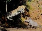 شاهد..خنزير بري يضع نابَيْه في مواجهة قفزة فهد إفريقي