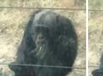 شاهد.. الشمبانزي المدخن يتسول السجائر من زوار الحديقة