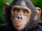 بالفيديو..ذكاء شمبانزي يثير اعجاب الزوار