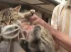 بالفيديو: لحظة انتقام أخطبوط من قطة حاولت التهامه