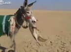 بالفيديو: حمار يصطاد ثعلب ويقتله