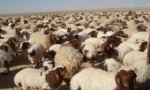 الأردن : استئناف تصدير الخراف للكويت