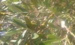 الزراعة : تيبُّس أغصان أشجار الزيتون لا يدعو للقلق