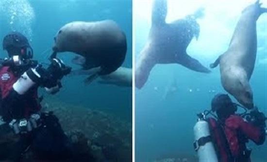 أسود بحر تلعب مع الغواصين (فيديو)