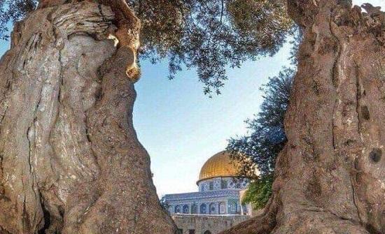 صورة : شجرة زيتون فلسطينية عمرها اكبر من عمر امريكا