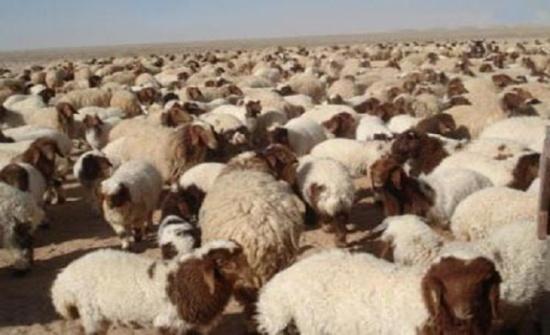 المفرق تصدر 263 ألف راس من الخراف الى الاسواق الخليجية