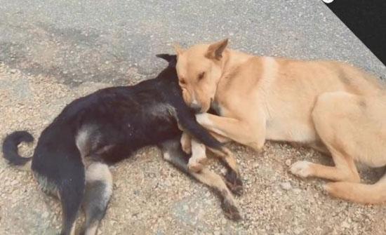 """شاهد بالفيديو: كلب يودع رفيقته """"وداع الأوفياء"""""""