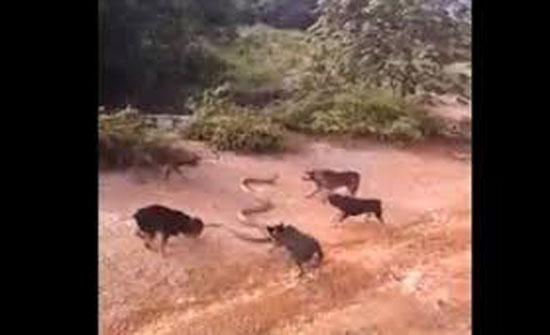 مجموعة كلاب تحاصر كوبرا وتتلاعب بها (فيديو)