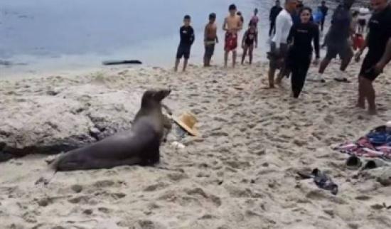 بالفيديو: أسد بحر غاضب يثير الذعر على أحد شواطئ كاليفورنيا