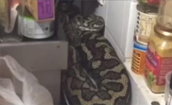 بالفيديو: العثور على أفعى داخل مطبخ منزل!