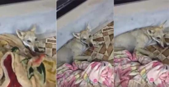 بالفيديو: يفاجأ بذئب داخل منزله وينجح في اصطياده