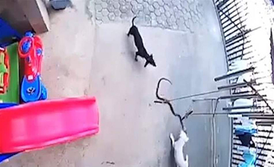 """""""ملحمة بطولية"""".. كلبان يواجهان """"كوبرا"""" لإنقاذ طفلة من أنيابها! (فيديو)"""