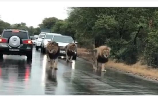 بالفيديو : 2 مليون مشاهدة لأربعة أسود تقتحم طريقا مزدحما