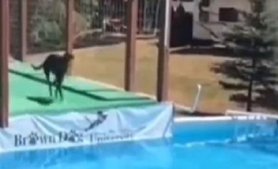 بالفيديو : قفزة مذهلة لكلب أعلى حمام سباحة