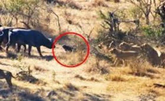 بالفيديو :- قطيع يتحد لإنقاذ جاموس من براثن أسد في معركة ملحمية