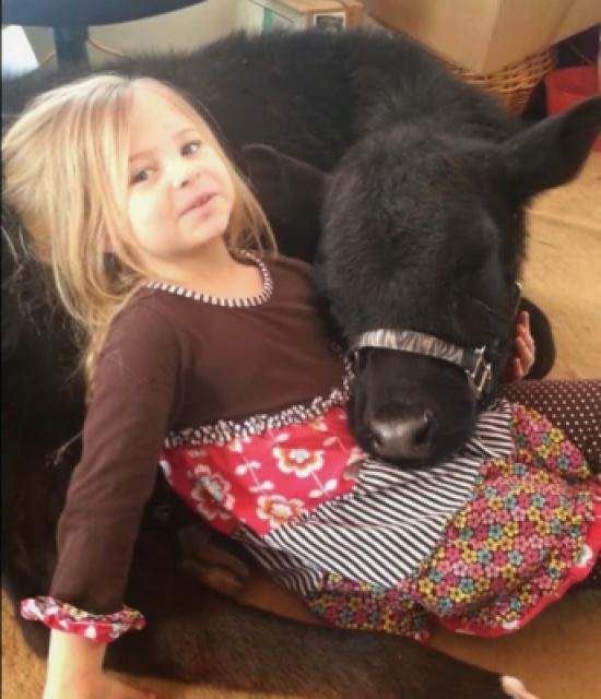 طفلة تدخل بقرة للمنزل في غياب والدتها