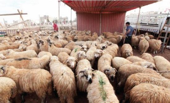 عمان  ..  26641 أضحية أول أيام العيد في مواقع بيع وذبح الاضاحي
