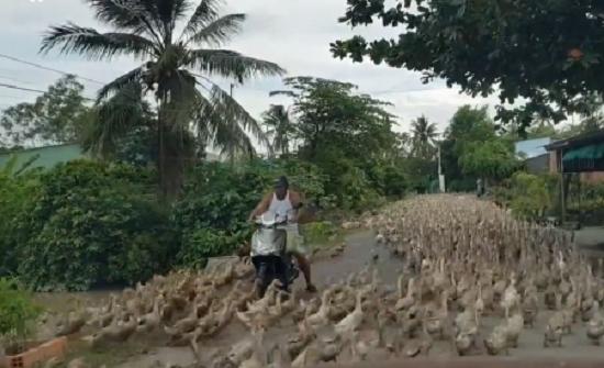 بالفيديو : مشهد مذهل لآلاف البط يغلق طريقا بفيتنام