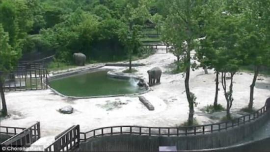 """فيديو.. شاهد ردة فعل """"أنثى فيل"""" حين سقط ابنها في بركة مياه !"""