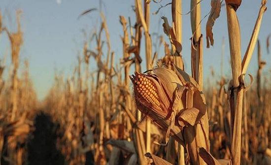 مزارع يدفن طفلين أحياء لسرقتهم الذرة من حقله