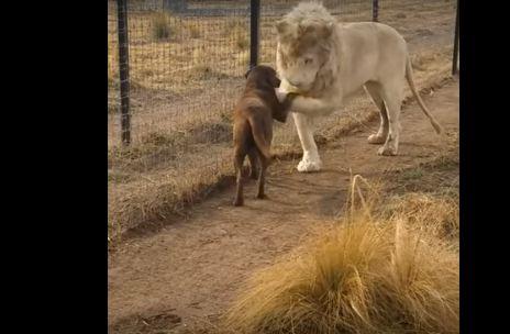 صداقة قوية بين أسد وكلب تشعل «الإنترنت» (فيديو)