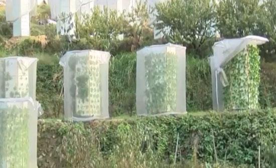 الصين تزرع الخضروات بدون تربة