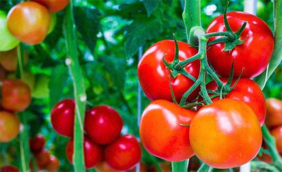 """الزراعة: توجيهات المزارعين لمضاعفة مزروعاتهم من البندورة هي """"مزاعم باطلة"""""""