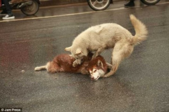 «شاهد» لحظة تكسر القلب .. كلب مخلص يحاول أن يوقظ صديقه الميت!!