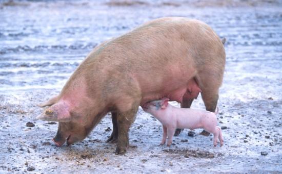 بالفيديو: حقائق مرعبة عن الخنزير .. صدق أو لا تصدق
