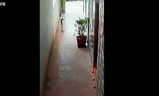 معركة شرسة بين قطة شجاعة وكوبرا (فيديو)