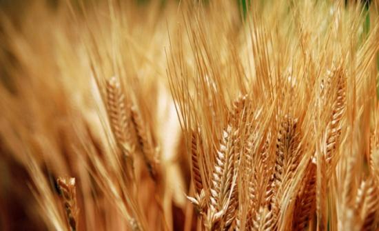 بدء صرف شهادات المنشأ لزراعات القمح في الكورة