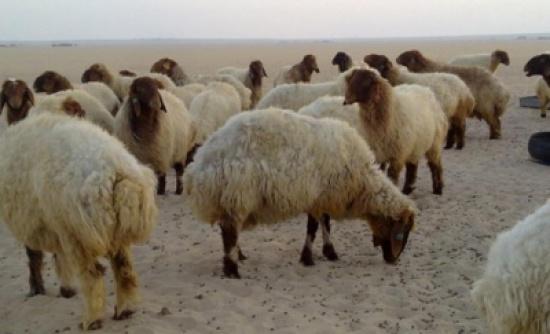 الأغوار : دعوة مربي الماشية لزيادة مشارب مواشيهم وتجنيبها اشعة الشمس