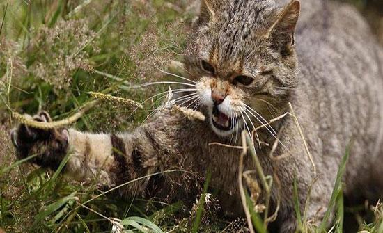 """القط """"الشرس"""" يعود بعد 150 عاما من انقراضه"""