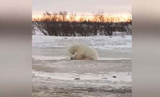 لقطات مذهلة لدب قطبي يلعب مع كلب (فيديو)