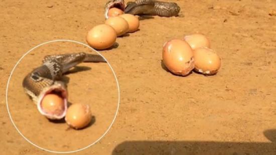 بالفيديو: هندي يستعيد بيضاً مسروقاً من جوف حية كوبرا