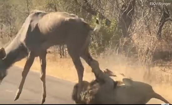 فيديو: لحظة اصطياد أسد لظبي ضخم أمام أعين السياح في رحلة سفاري