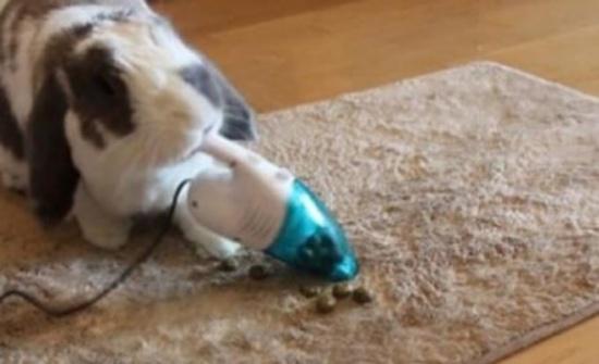 بالفيديو....أول أرنب ينظف مكانه بالمكنسة الكهربائية