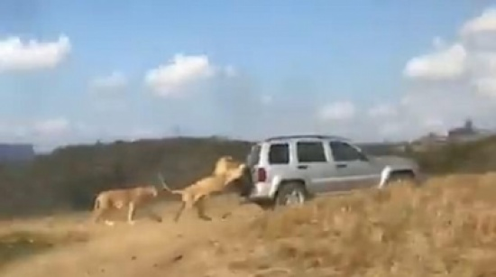 أسد كسول يركب سيارة من الخلف لنقله (فيديو)