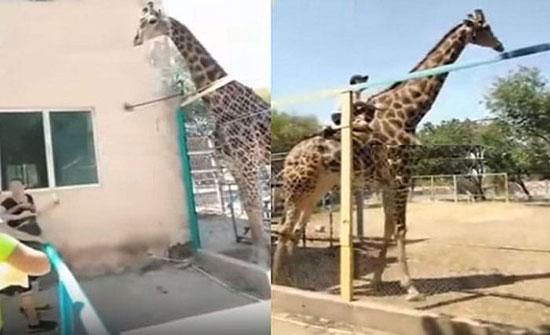 بالفيديو: رجل يتسلق زرافة بحديقة حيوان