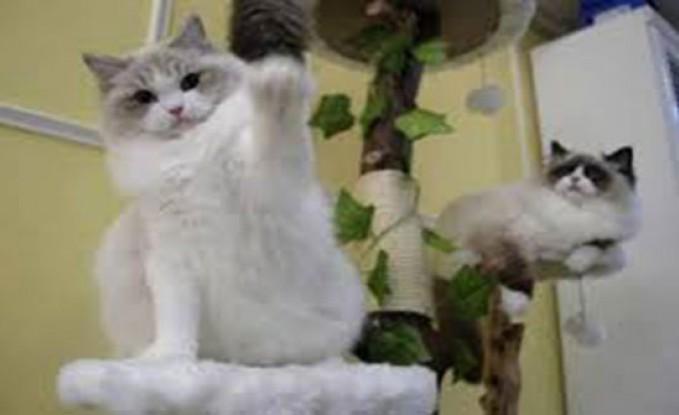 بالصور : سيدة تهرب القطط بإخفائها تحت ملابسها والتظاهر بالحمل