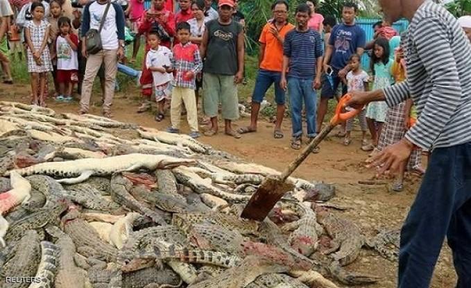 قرويون في إندونيسيا يقتلون قرابة 300 تمساح في هجوم انتقامي
