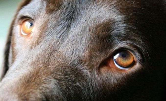 دراسة: الكلاب طوّرت نظرات عيونها لتستميل مشاعر البشر